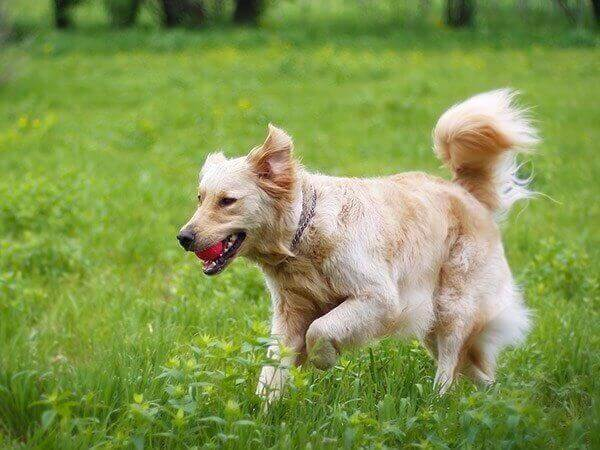 Fluffy dog running in a field