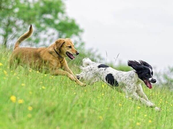 Two dogs running in a field of flowers