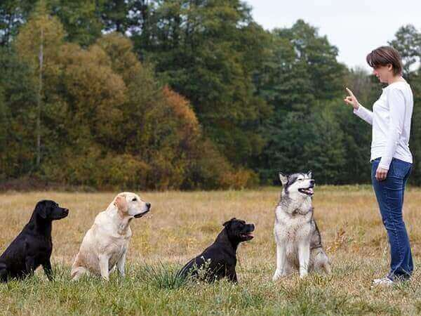 Woman training a group of dogs