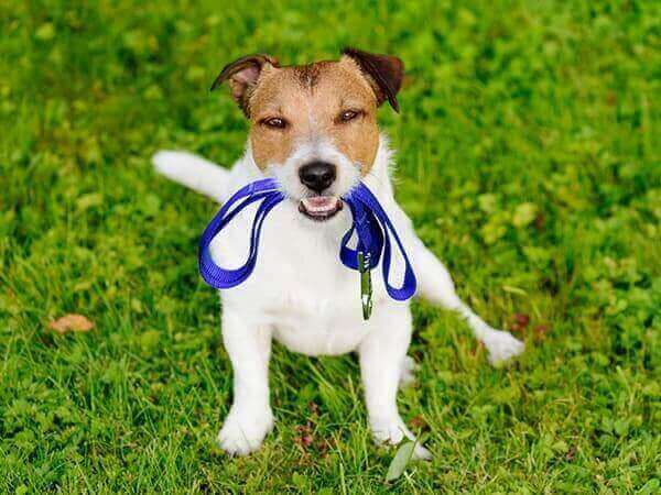 Dog holding a leash in its mouth
